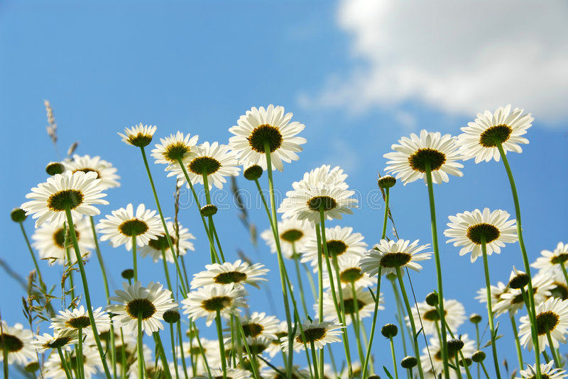 Daises with blue sky stock photo