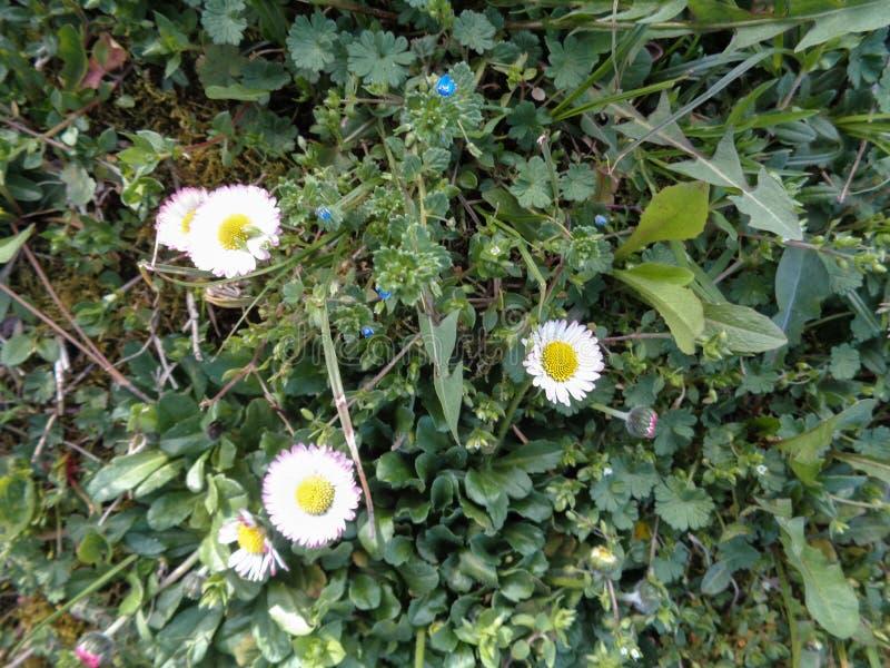 Daisie-Abschluss oben im Gras stockbild