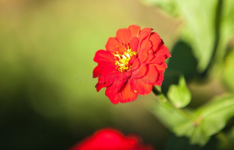 Daisie im Garten stockfoto