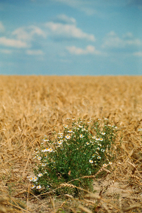 Download Daisies stock image. Image of vegetation, agricultural - 13240877