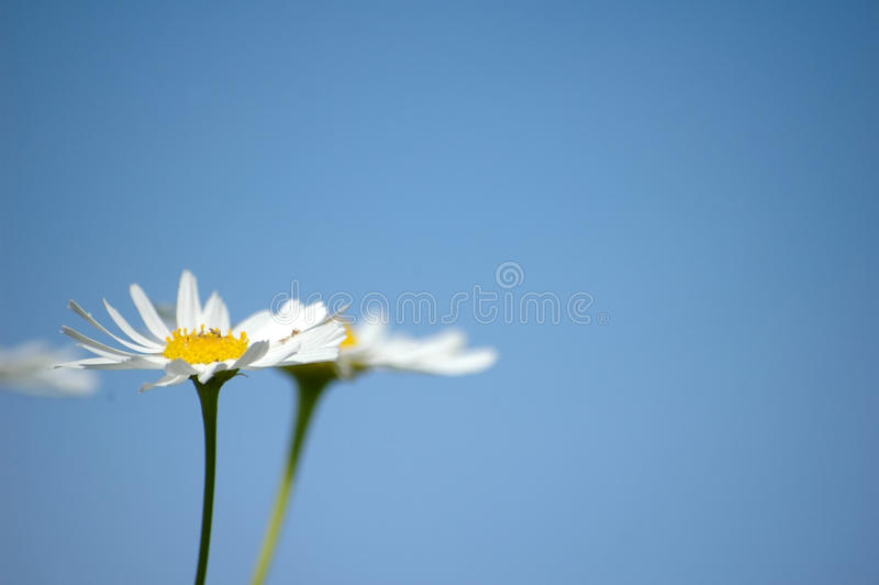 Download Daisies Royalty Free Stock Photos - Image: 15106328