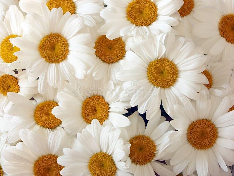 daisies στοκ εικόνες