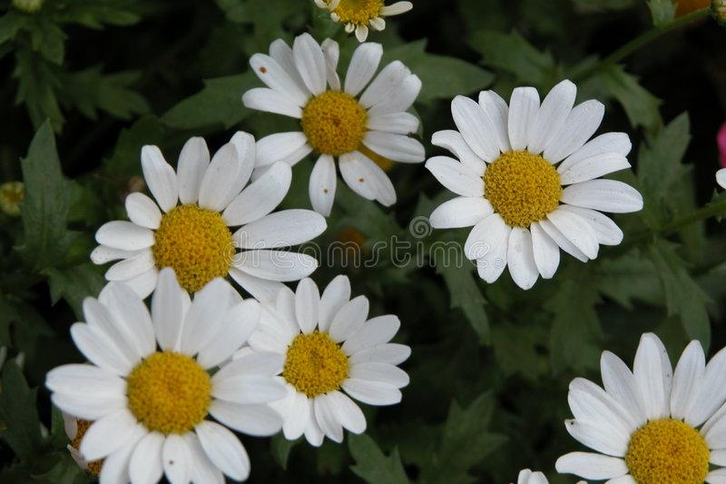 Download Daisies stock photo. Image of plant, blooming, oxeye, petals - 17238