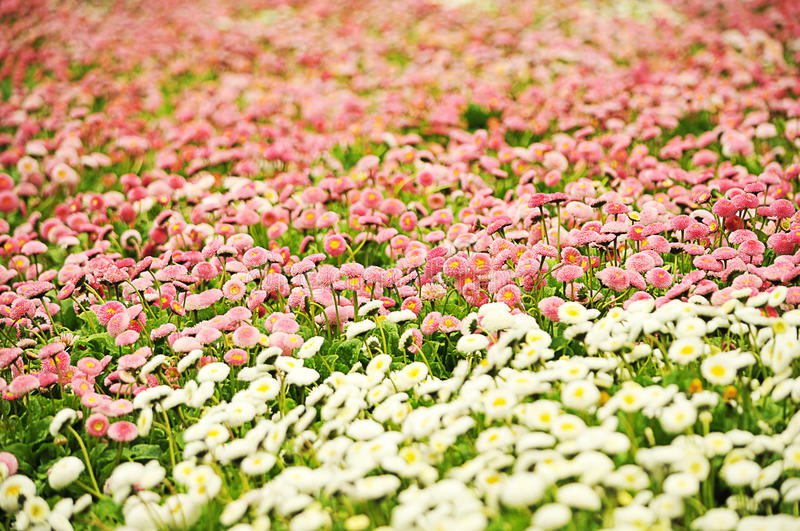 Download Daisies stock photo. Image of many, grow, camomile, growing - 19626260
