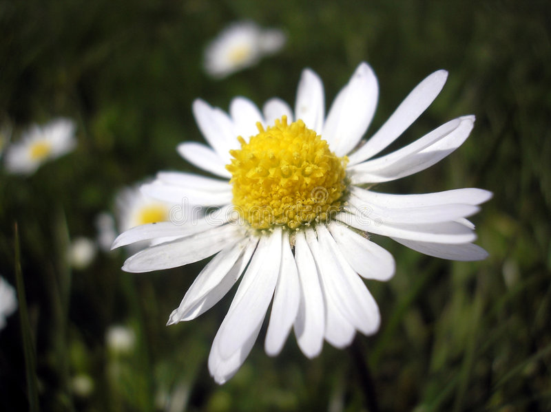 Download Daisies 2 stock image. Image of wild, nature, flower, green - 709295