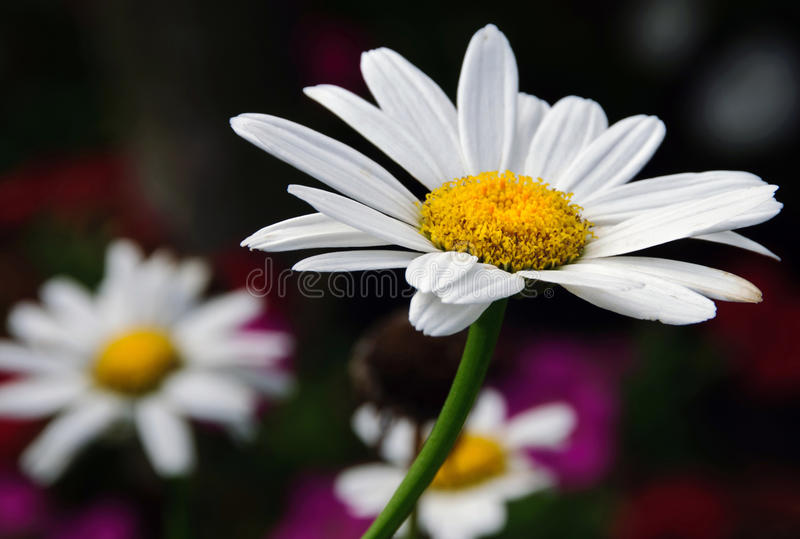 Download Daisies Royalty Free Stock Photography - Image: 20556377