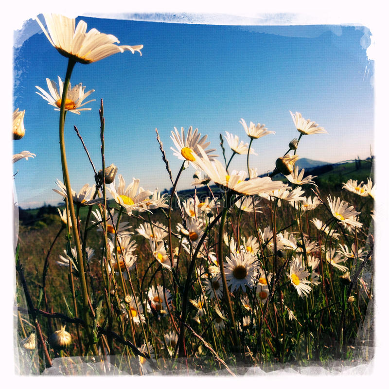 Download Daisies stock image. Image of fresh, rural, daisies, summertime - 28040541