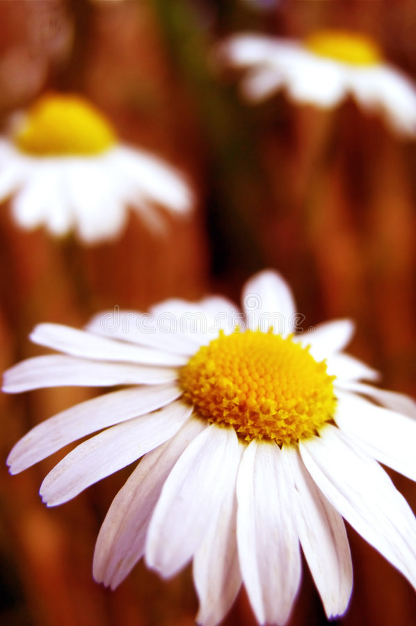 Download Daisies stock photo. Image of chamomile, macro, details - 2951248