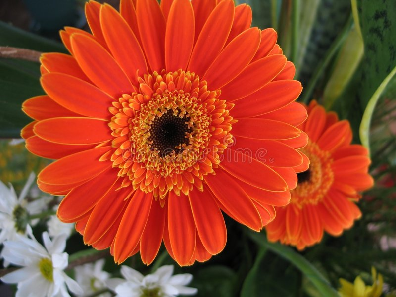 Download Daisies stock image. Image of daisy, botanical, flower, floral - 33021