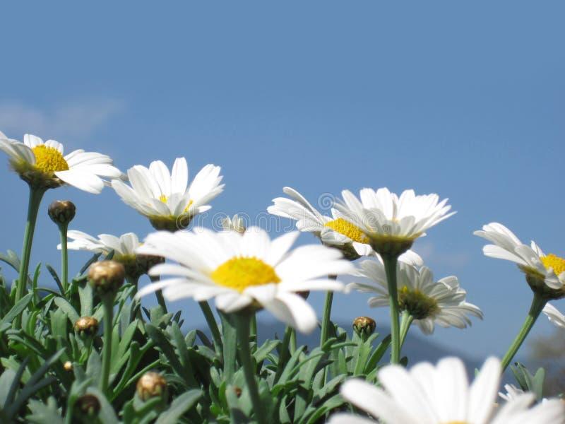 Daisies against the blue sky royalty free stock photos