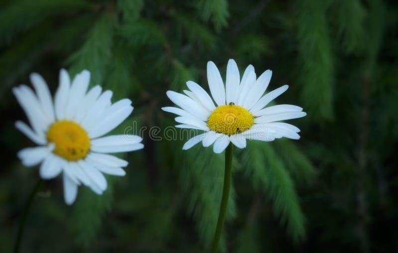 Daisies against tree. Daisy, flowers, whiteflower, nature, naturephoto, flowerphoto, beauty, beautiful, naturebeauty royalty free stock image