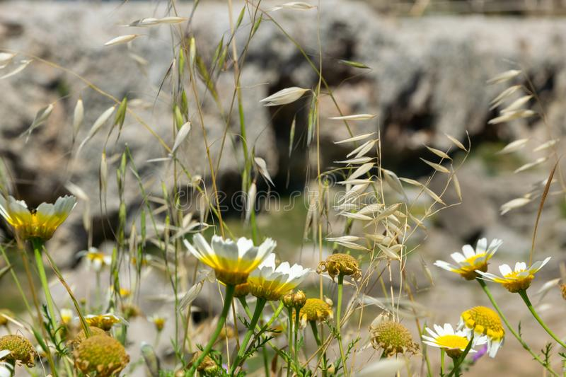 Daisies on the background of ancient ruins royalty free stock photos