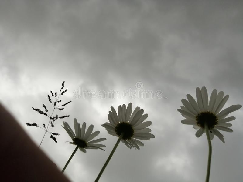 Daisies with a black storm sky backgroun. Daisies black storm sky backgroun stock photography