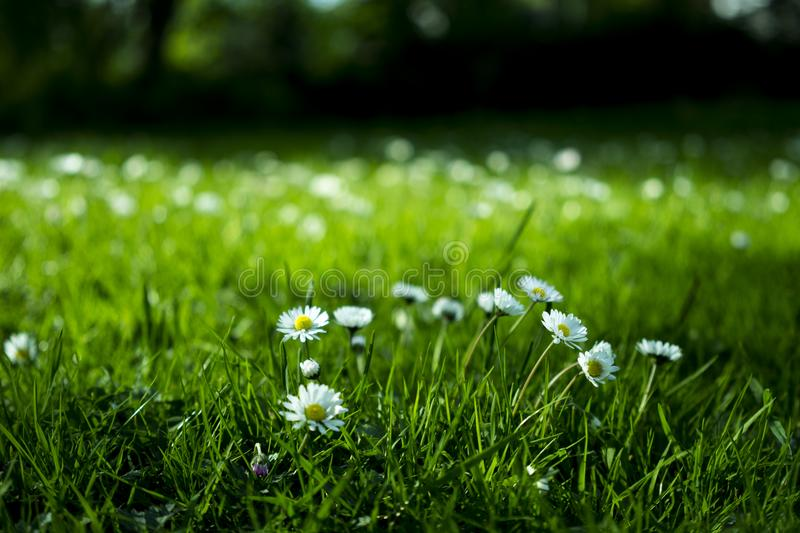 Daisies Blooming In A Meadow stock photos