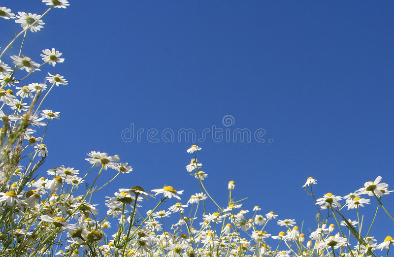 Download Daisies border stock photo. Image of flower, frame, daisy - 150262