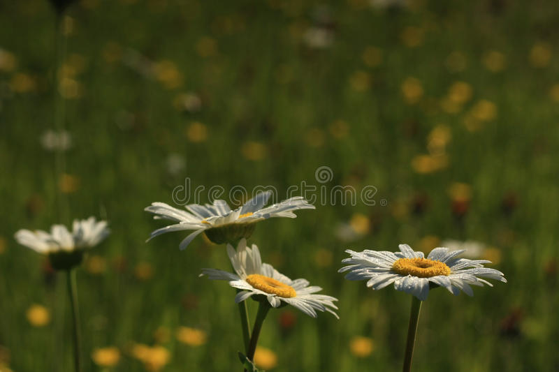 Daisies with Dew royalty free stock image