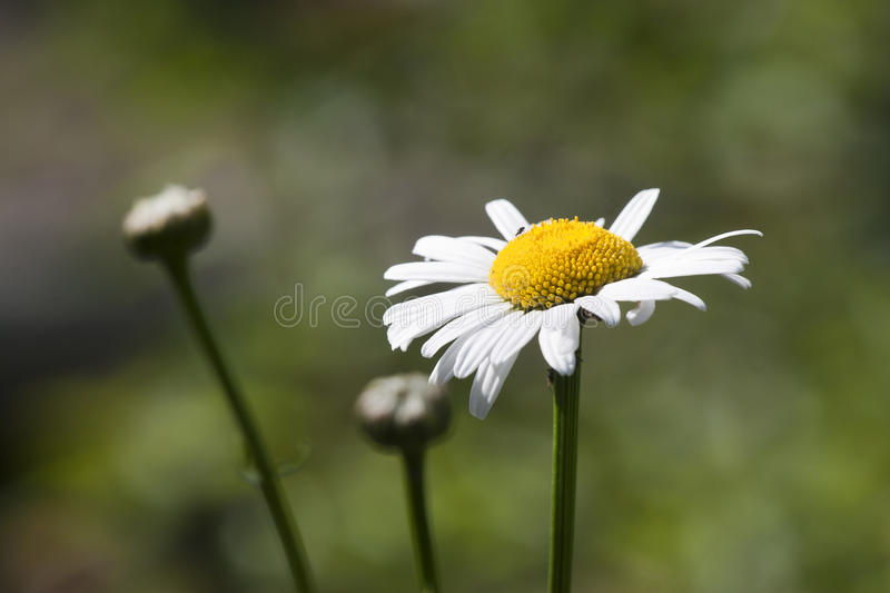 Download Daisies field stock photo. Image of circle, backgrounds - 32477058