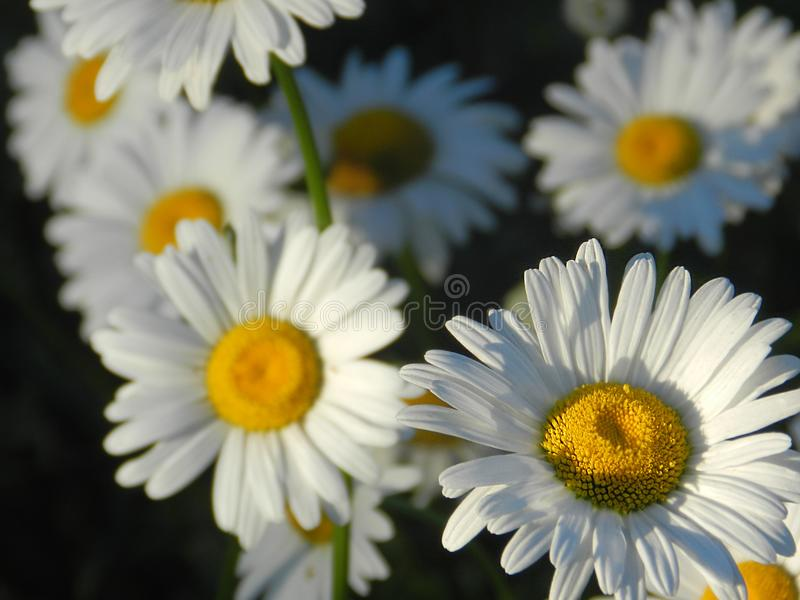 Daisies, flowers, nature, garden, field, outdoors, petals, beauty, beautiful, white, yellow. Beautiful flowers of chamomile in yellowish white flowers in the royalty free stock photos
