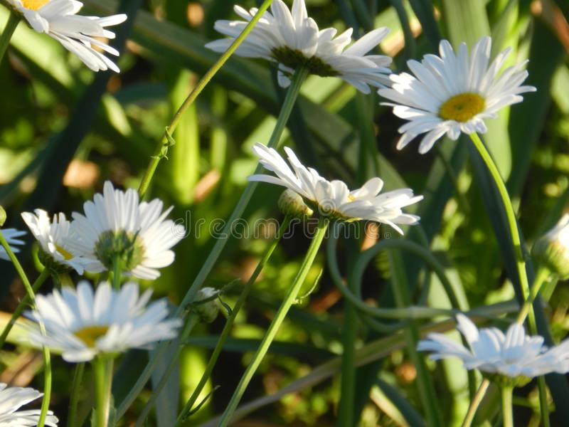 Daisies, flowers, nature, garden, field, outdoors, petals, beauty, beautiful, white, yellow. Beautiful flowers of chamomile in yellowish white flowers in the stock images