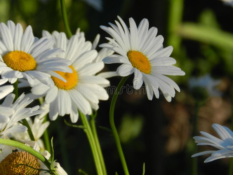 Daisies, flowers, nature, garden, field, outdoors, petals, beauty, beautiful, white, yellow royalty free stock photography