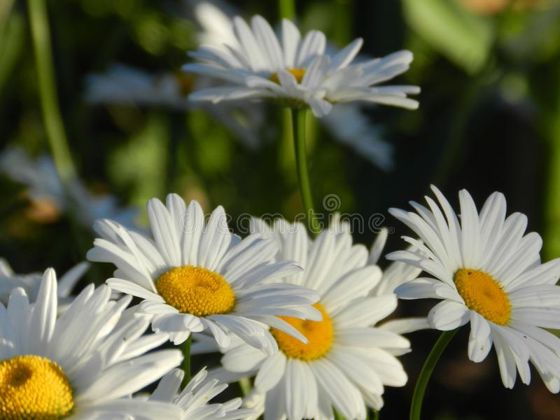 Daisies, flowers, nature, garden, field, outdoors, petals, beauty, beautiful, white, yellow stock photography