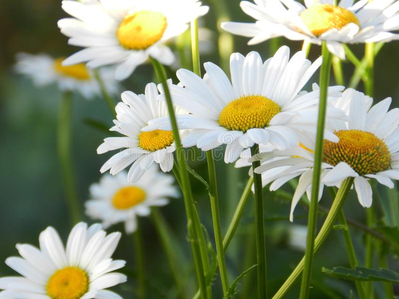Daisies, flowers, nature, garden, field, outdoors, petals, beauty, beautiful, white, yellow. Beautiful flowers of chamomile in yellowish white flowers in the royalty free stock images