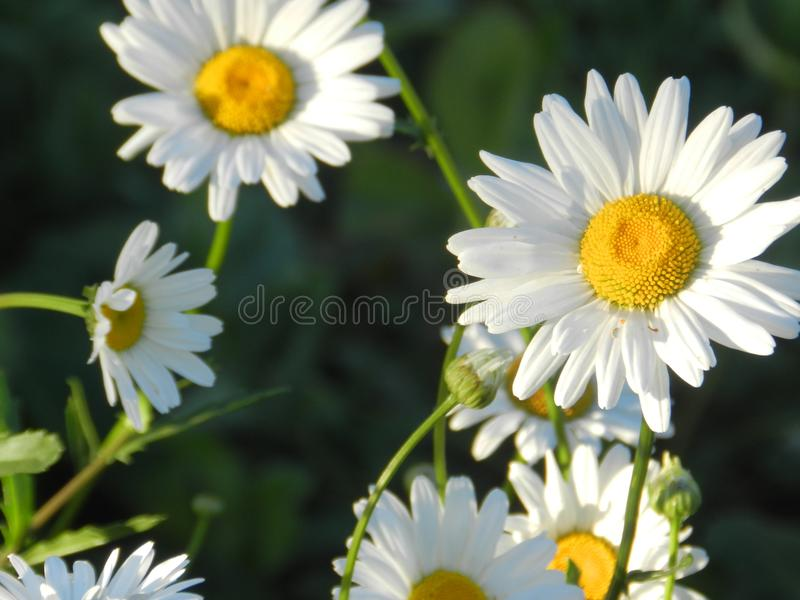 Daisies, flowers, nature, garden, field, outdoors, petals, beauty, beautiful, white, yellow. Beautiful flowers of chamomile in yellowish white flowers in the royalty free stock photo