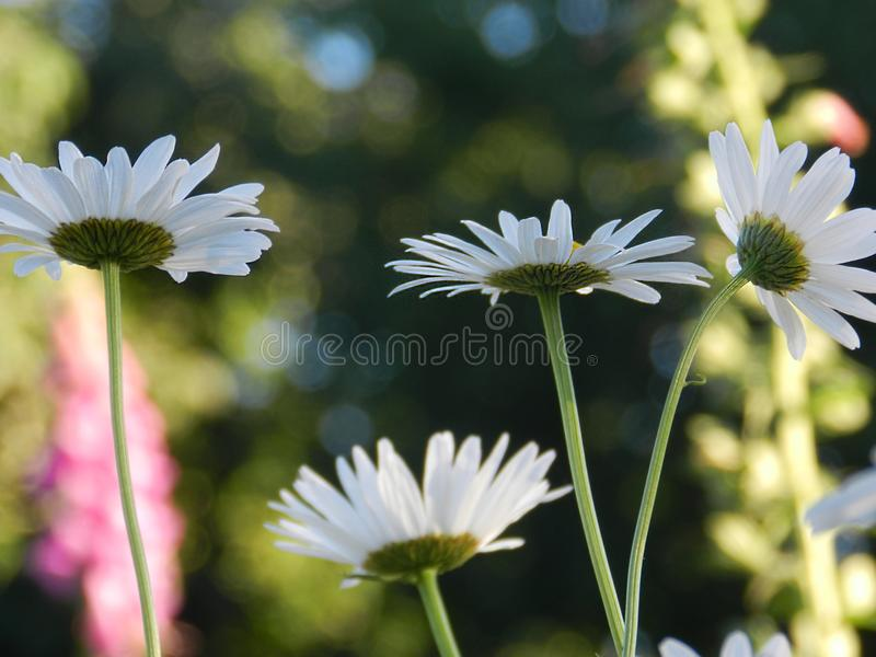 Daisies, flowers, nature, garden, field, outdoors, petals, beauty, beautiful, white, yellow royalty free stock photos