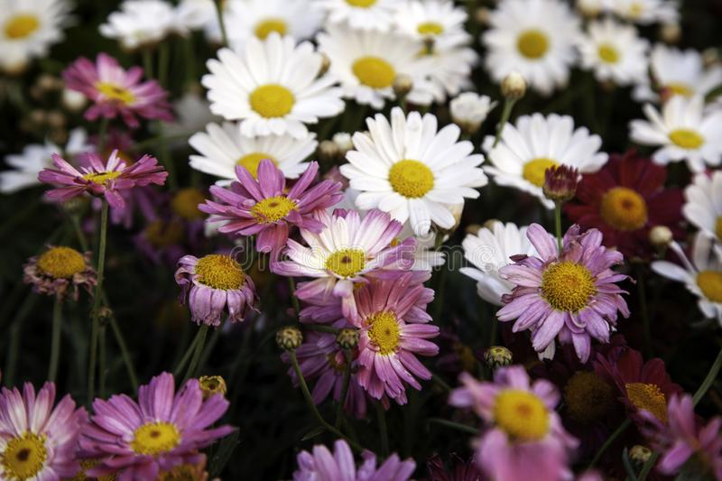 Daisies in garden. Colorful daisies in garden, nature and botany, daisy, flower, flowers, spring, background, white, field, summer, chamomile, beautiful, green stock photography