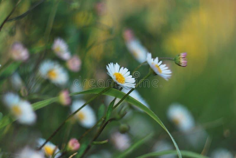 Daisies in garden stock photography
