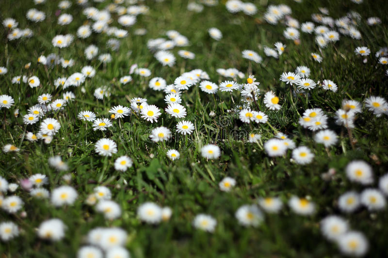 Daisies in garden lawn royalty free stock images