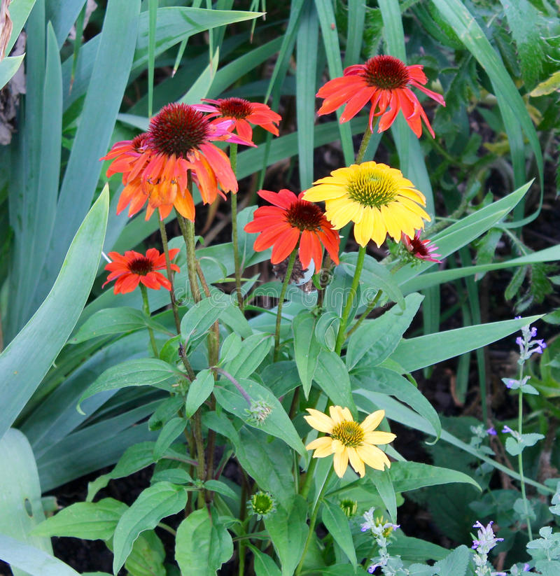 Download Daisies In A Garden Stock Photo - Image: 74326538
