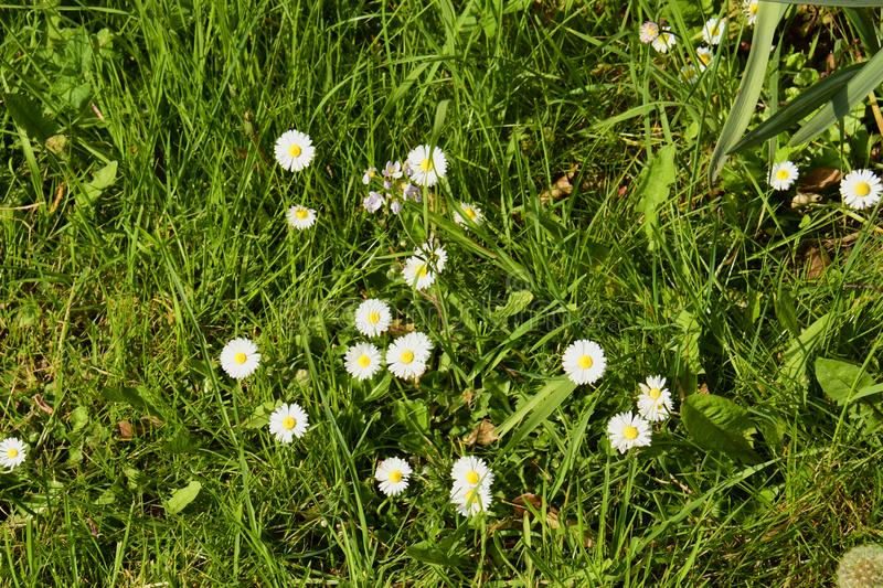 Daisies Gen; Bellis. Growing colourfully along this grass verge in a rural area of England, Great Britain stock image