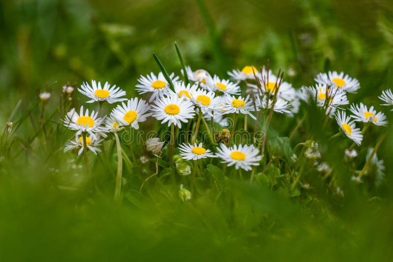Daisies in the grass royalty free stock photography