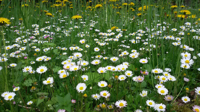 Daisies in the grass royalty free stock photos