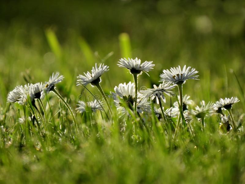 Daisies in the grass stock images