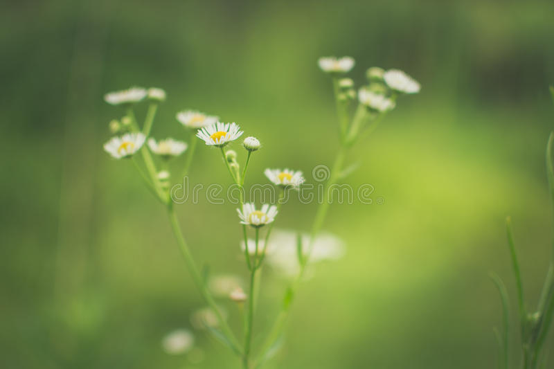 Daisies In Green Bokeh Background Free Public Domain Cc0 Image