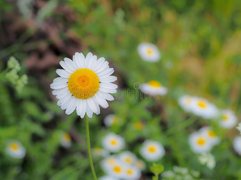Daisies in the green countryside stock images