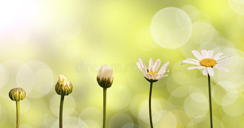 Daisies on green nature background. Stages of growth royalty free stock image