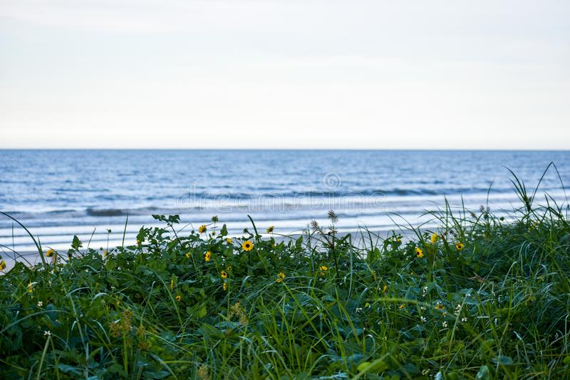 Daisies Growing Wild on the Sand Dunes Along the Coast of Florida Beaches in Ponce Inlet and Ormond Beach, Florida stock photos