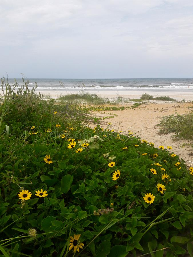 Daisies Growing Wild on the Sand Dunes Along the Coast of Florida Beaches in Ponce Inlet and Ormond Beach, Florida royalty free stock photo
