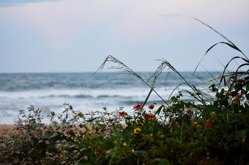 Daisies Growing Wild on the Sand Dunes Along the Coast of Florida Beaches in Ponce Inlet and Ormond Beach, Florida stock images