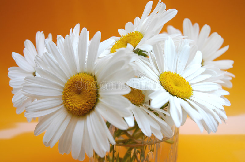 Daisies III stock photo