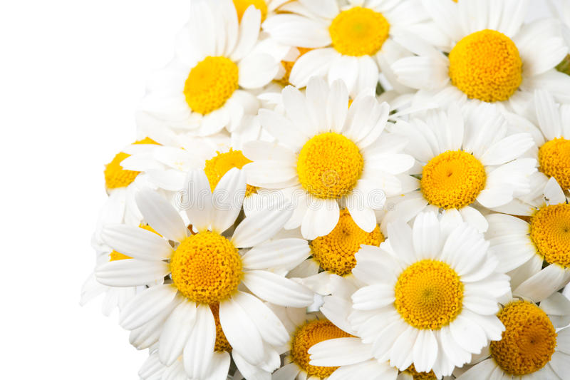 Daisies isolated royalty free stock photos