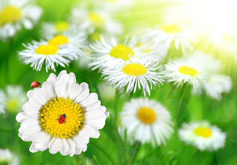 Download Daisies with ladybugs stock image. Image of camomile - 39268395