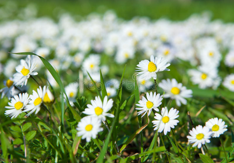 Daisies, lawn of daisy flowers. Growing in meadow stock photos