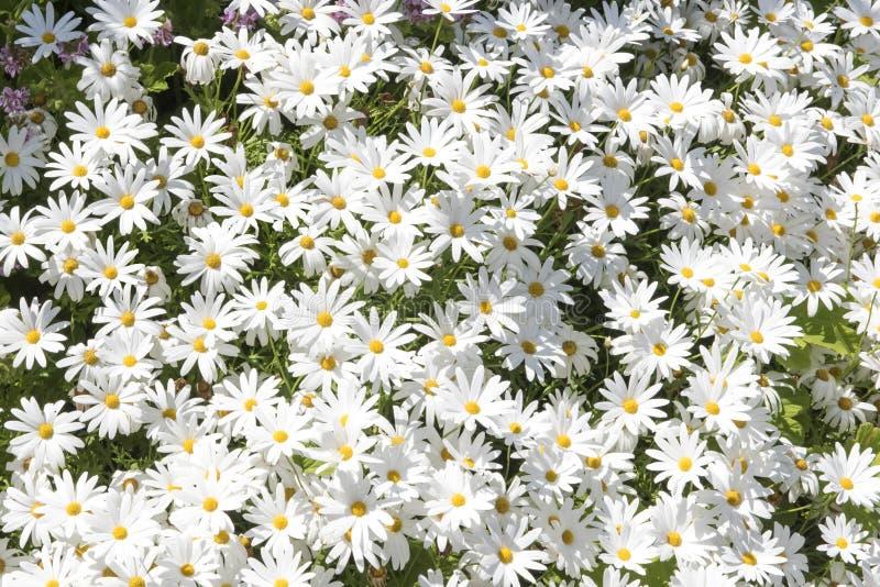 Daisies in full flower stock photos