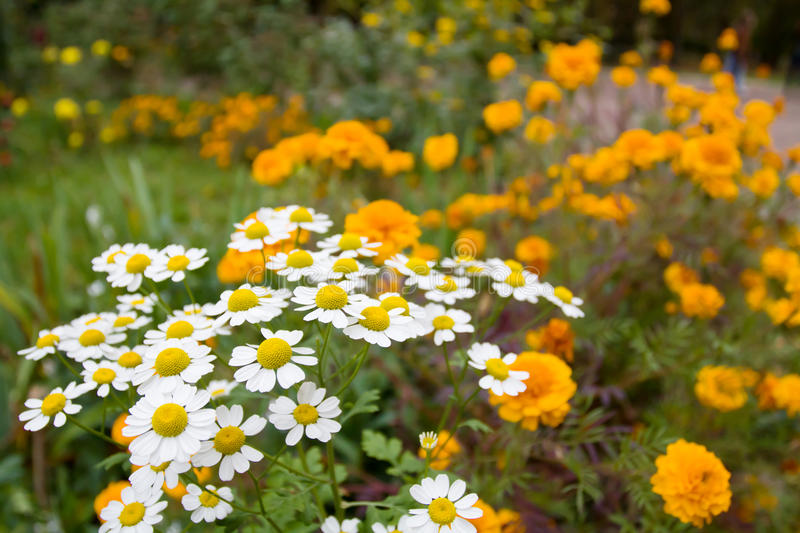 Daisies on a meadow stock photography