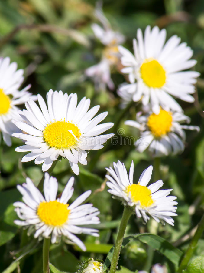 Daisies in a meadow royalty free stock photo