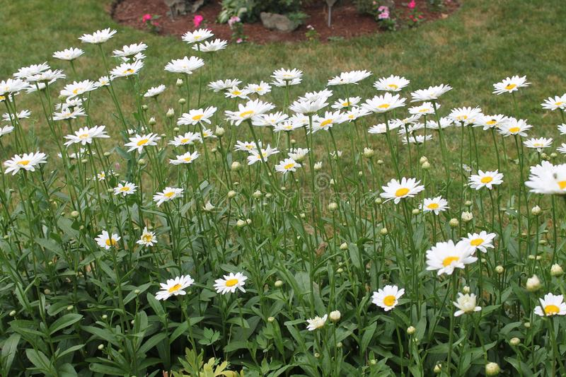 Daisies and more daisies stock photography